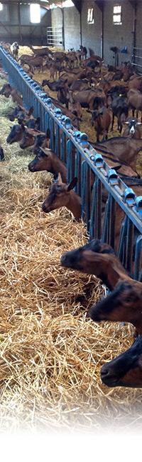 Supprimer la PMSG pour synchroniser les chaleurs des chèvres