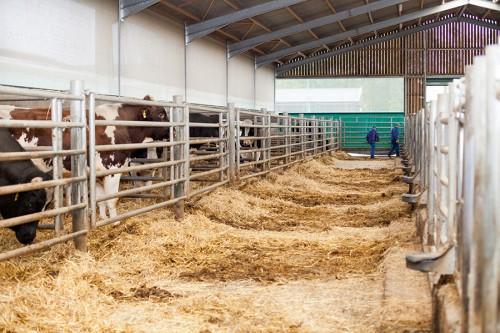 Un système de barrières permet de créer un couloir sur la moitié des box afin de procéder au raclage sans sortir les taureaux.