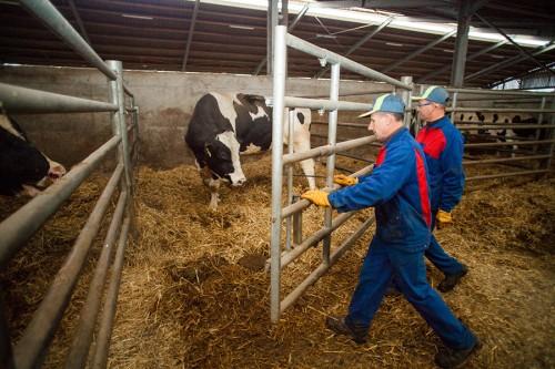 Le travail au contact des taureaux est toujours dangereux.
