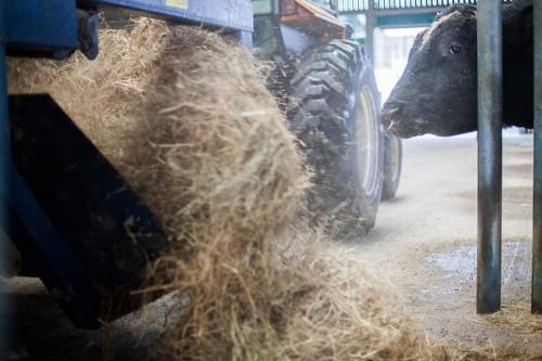 Les taureaux mangent 15kg de foin par jour complémentés de 3 à 5kg d'un aliment concentré.