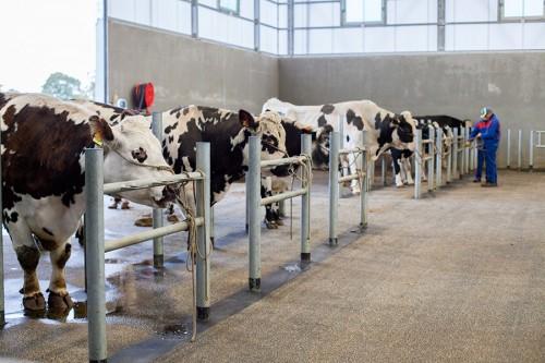 A leur arrivée en salle de monte, les taureaux sont attachés dans des stalles d'attente pour commencer leur préparation à la collecte.