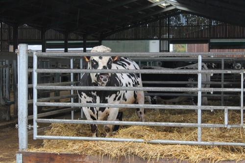 Le site accueille également des taureaux Normands,